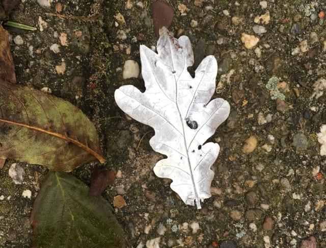 Wit eikenblad op de grond